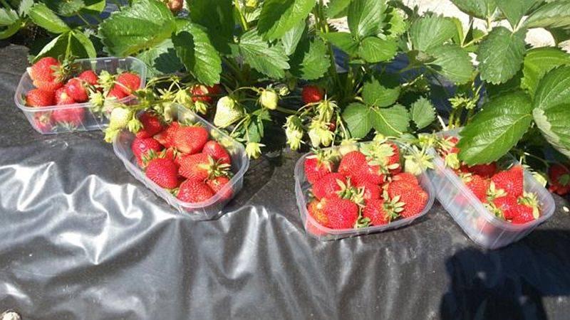 Gorski kotar, Fužine - plantaža jagoda, malina i kupina